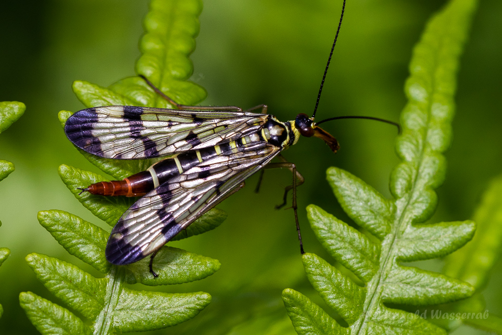 Skorpionsfliege (Weibchen)