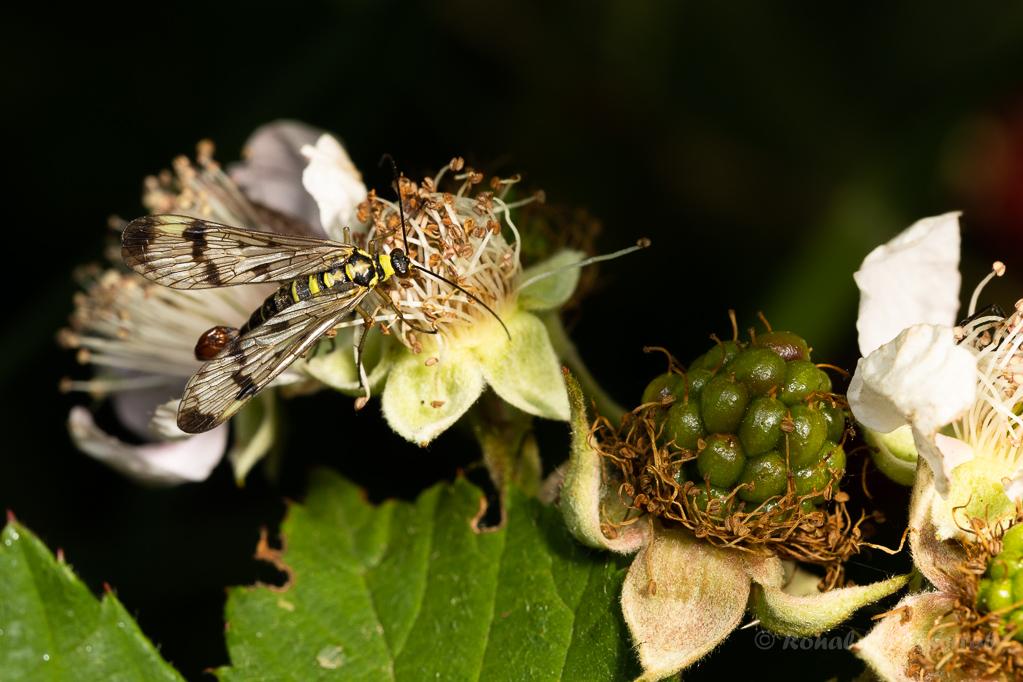 Skorpionsfliege (Männchen)