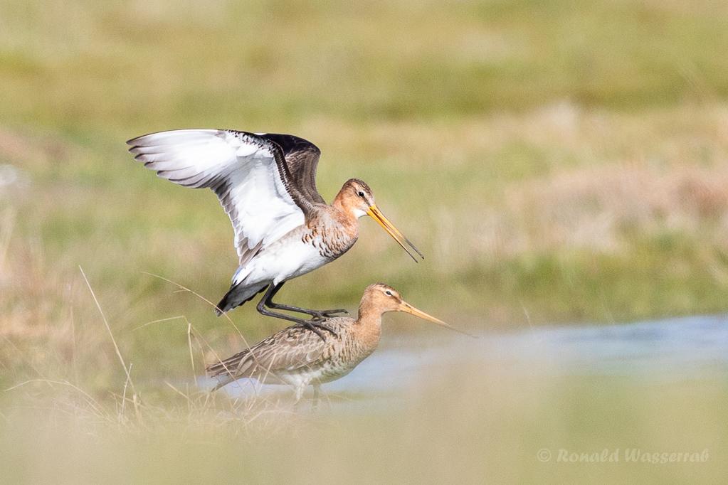 Uferschnepfen-Paarung