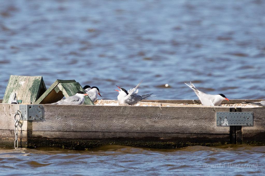 Fluss-Seeschwalben am Odinsloch