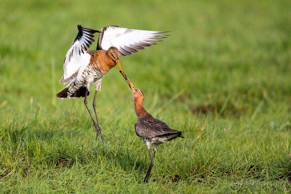 Kämpfende Uferschnepfen im Ochsenmoor