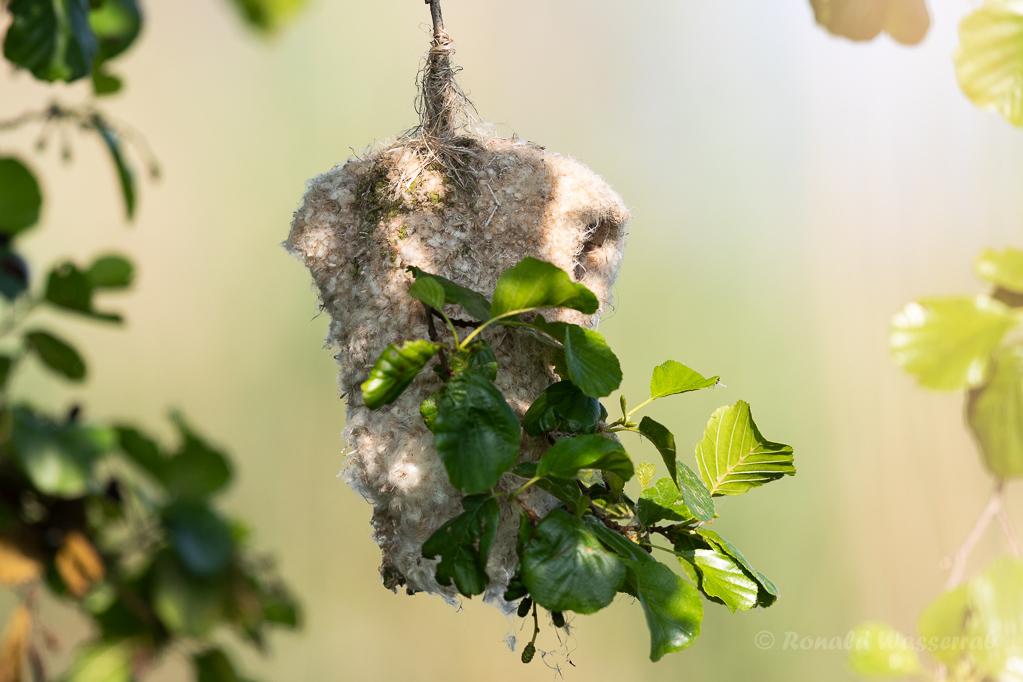 Beutelmeisen-Nest (Linumer Teiche)