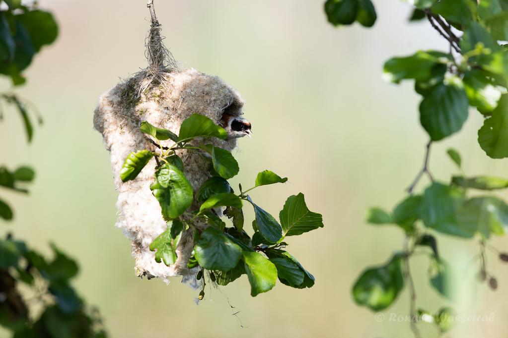 Beutelmeise mit Nest (Linumer Teiche)