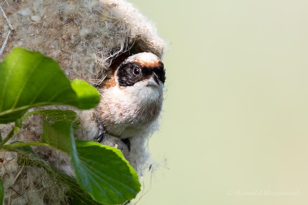 Beutelmeise im Nest (Linumer Teiche)