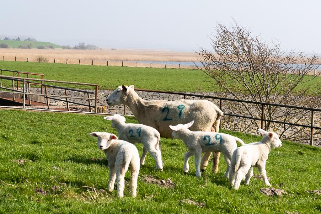 Schafe an der Arlau-Schleuse