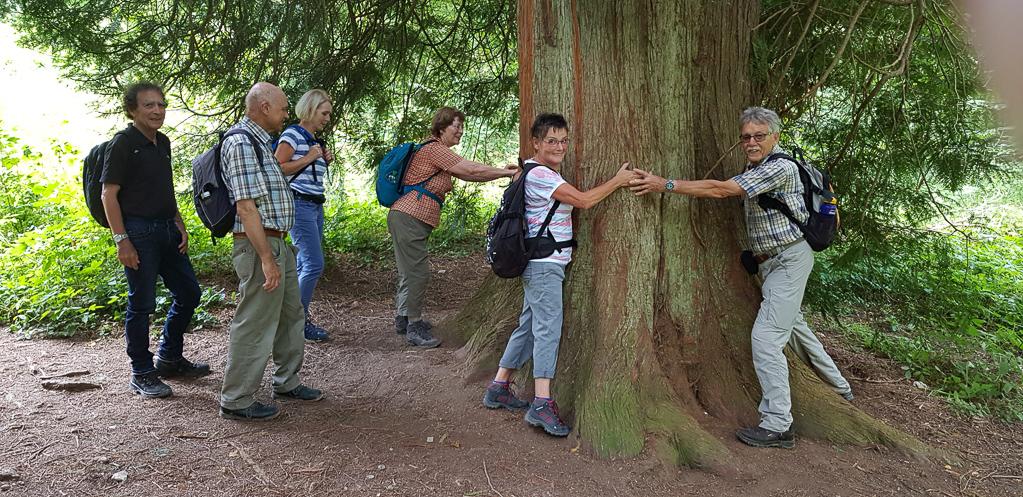 Mammutbaum bei Bad Boll