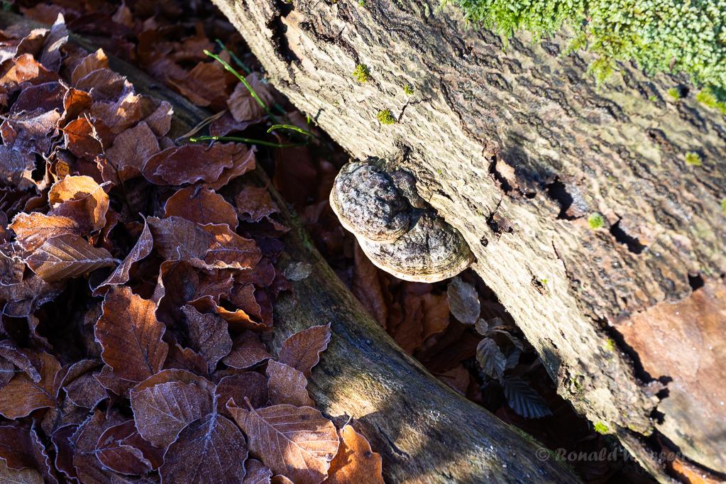 Zunderschwamm und Blätter im Hutewald Halloh