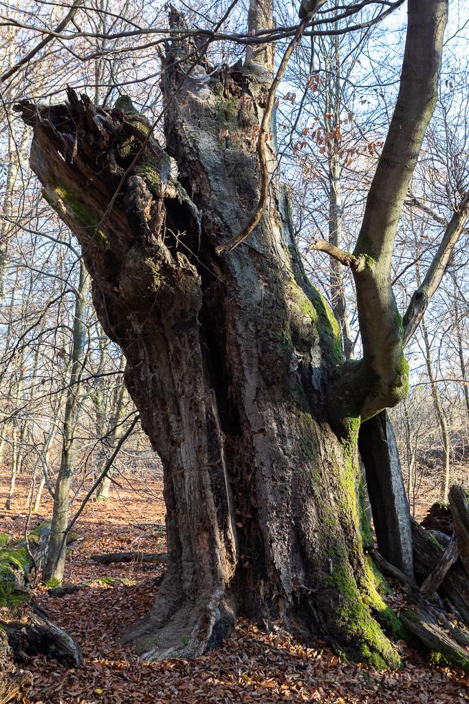 Buche im Urwald Sababurg