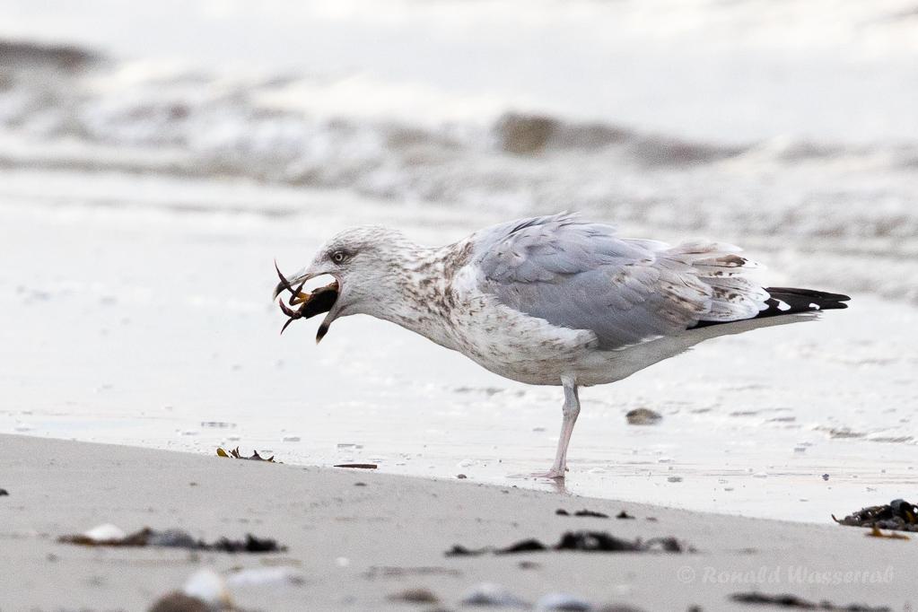 Silbermöwe mit Strandkrabbe