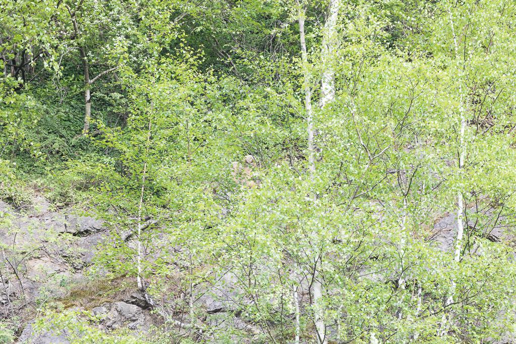 Die jungen Uhus verstecken sich hinter der Vegetation