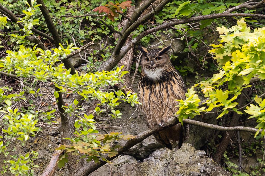 Derweil sitzt das kleinere Männchen ca. 50 Meter weiter in einem Baum