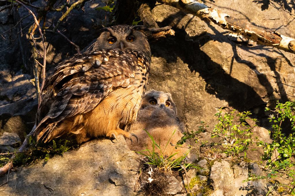 Ästling mit Altvogel