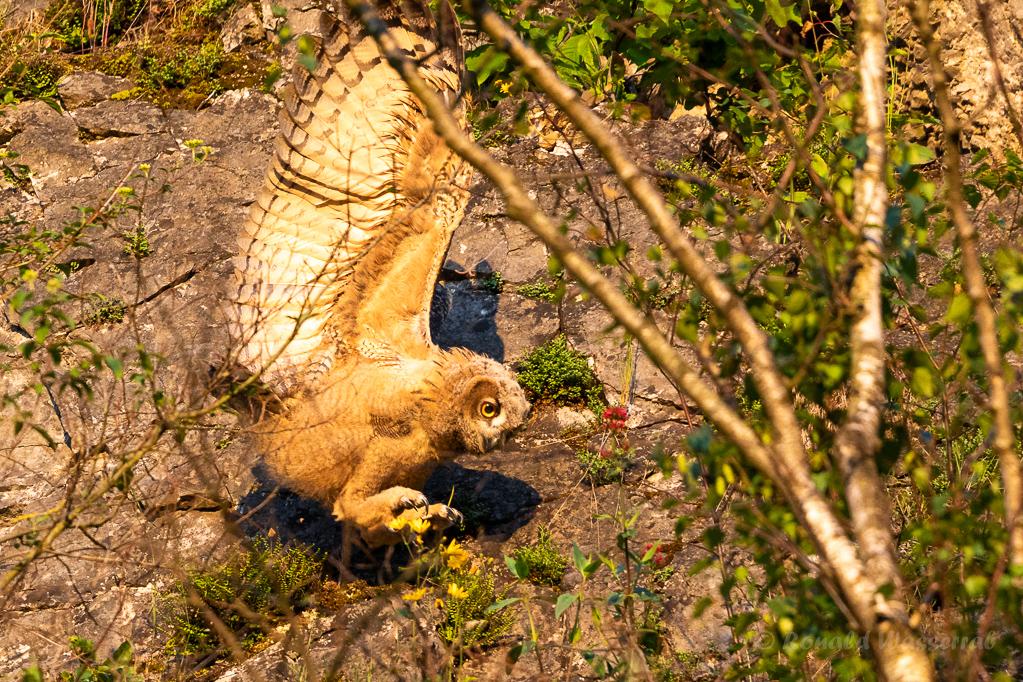 Die Jungvögel machen sich teils fliegend, teils kletternd auf den Weg nach oben