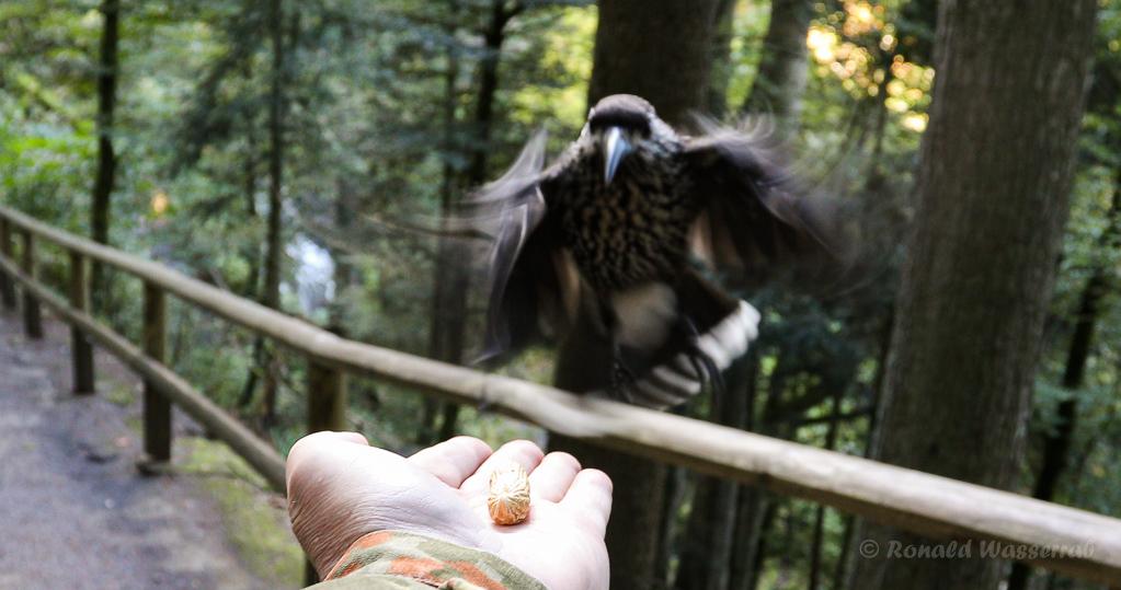 Der Häher holt sich die Erdnuss aus meiner Hand