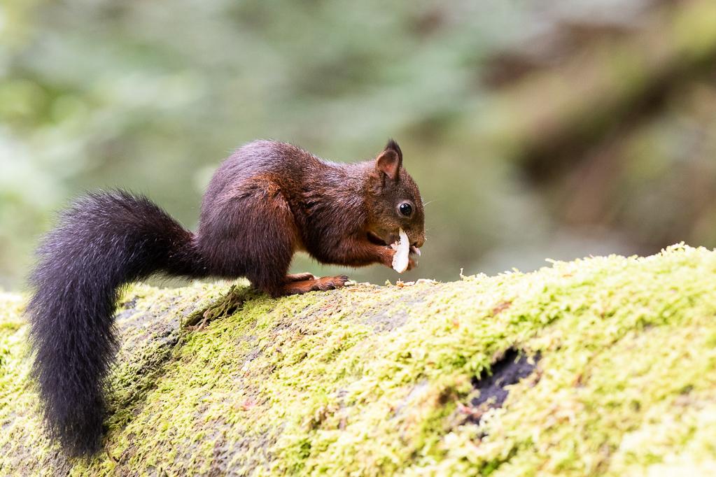 Eichhörnchen Triberg