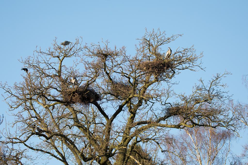 Einer der Nesterbäume in der Graureiherkolonie