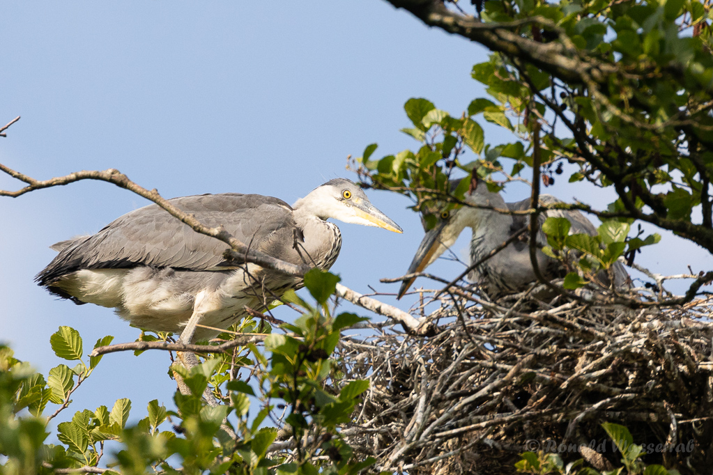 Graureiher am Nest in der Graureiherkolonie