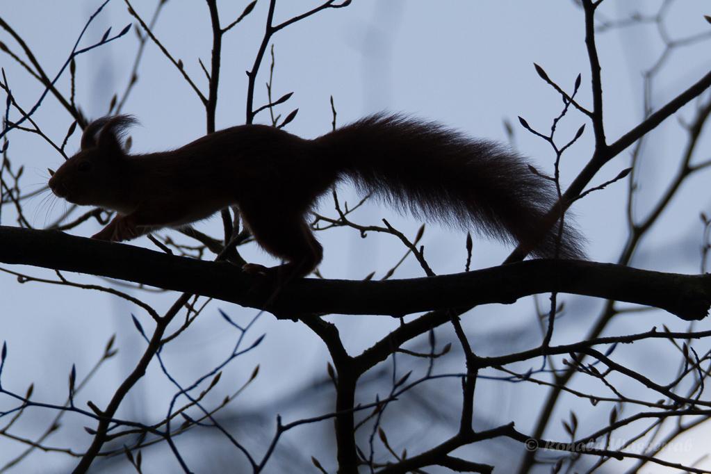 Eichhörnchen an der Graureiherkolonie