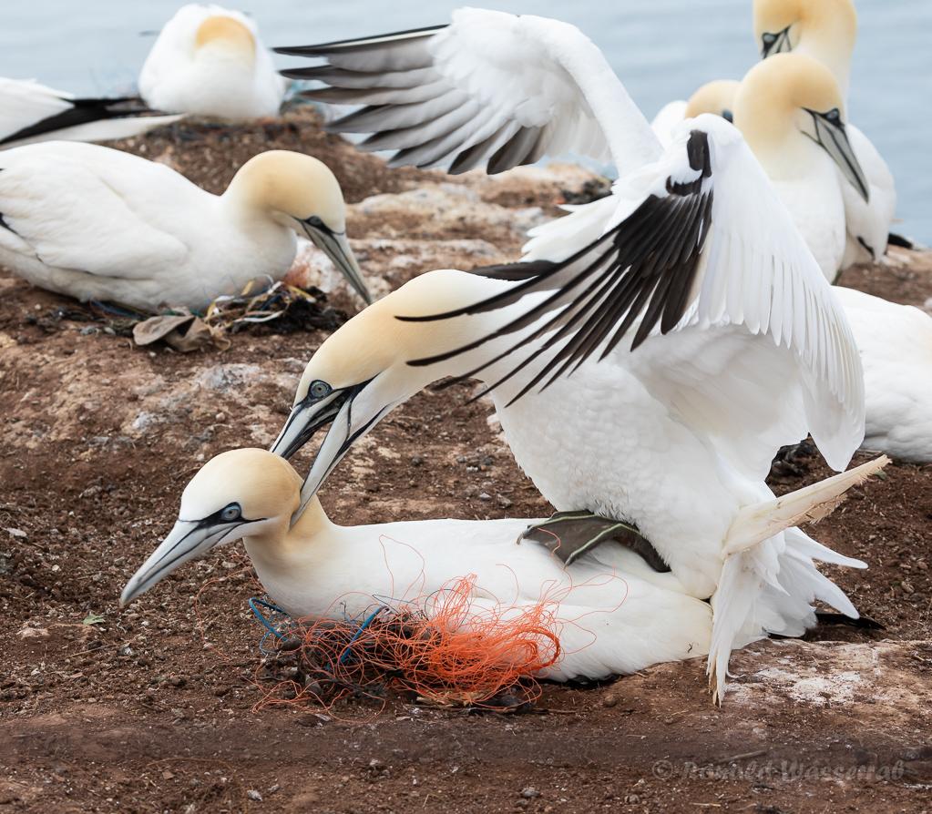 Tölpelhafter Akt auf Helgoland