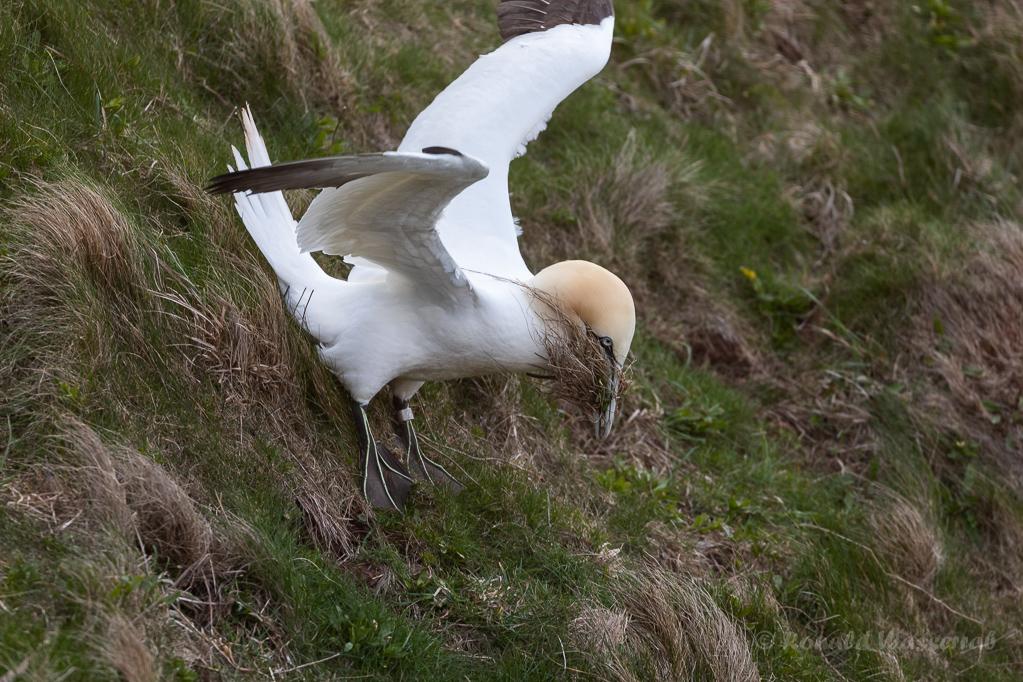Basstölpel sammeln Nistmaterial auf Helgoland