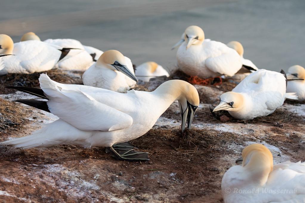 Basstölpel beim Nestbau auf Helgoland