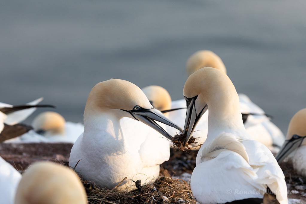 Traditioneller Nestbau auf Helgoland