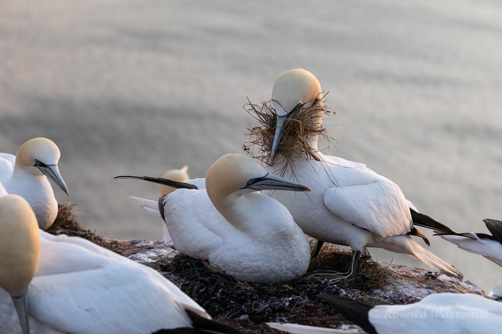 Tölpelhaft auch beim Nestbau auf Helgoland