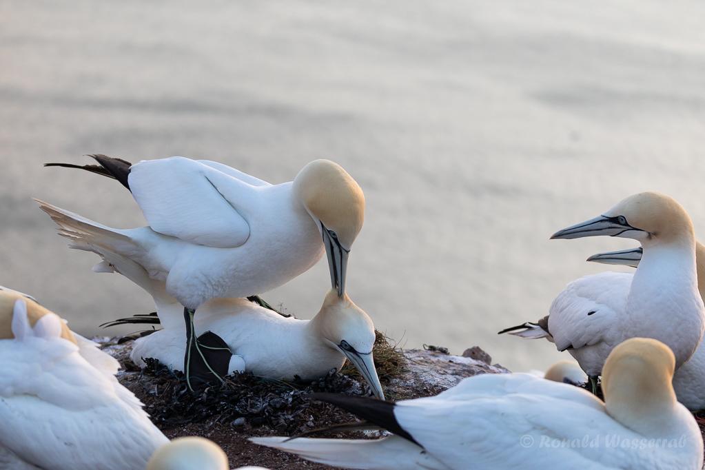 Basstölpel-Paarung auf Helgoland