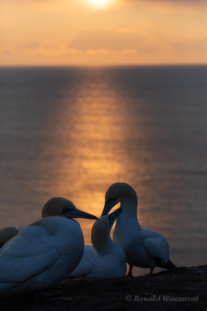Basstölpel im Abendlicht auf Helgoland