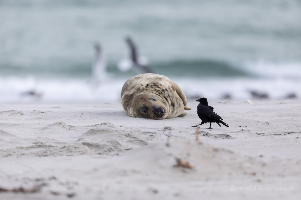 Krähe mit Kegelrobbe auf Helgoland