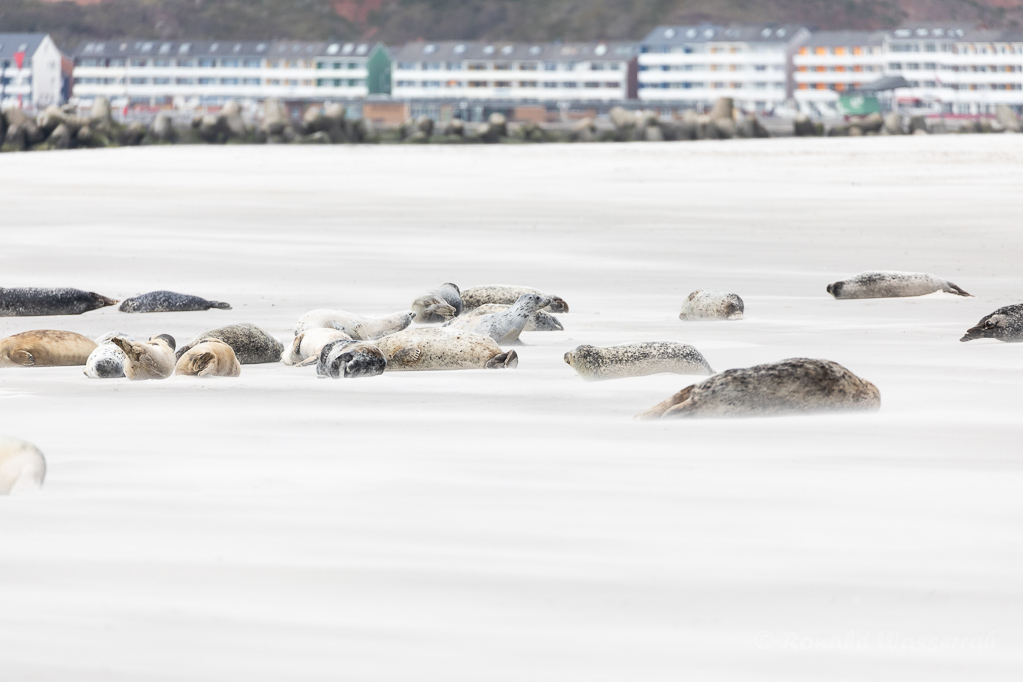 Seehunde auf der Düneninsel Helgoland