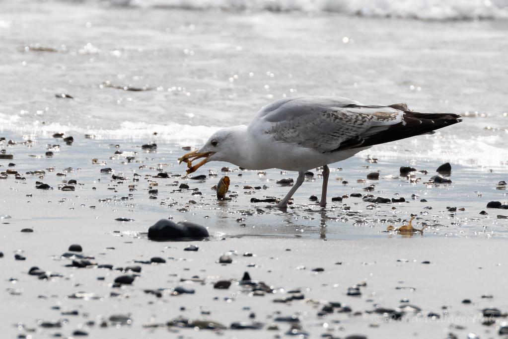 Möwe mit Krabbe auf Helgoland
