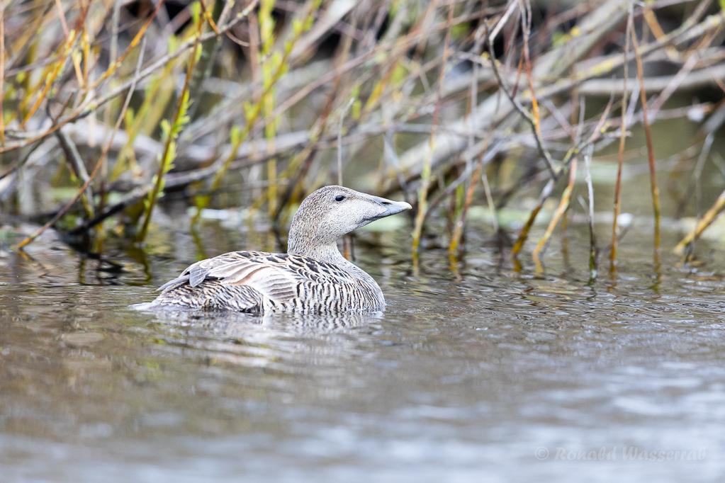 Eiderenten-Weibchen im Grillteich Helgoland
