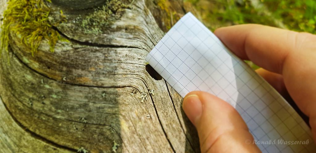 Das Schlupfloch des Alpenbocks ist ca. 11-12 mm breit