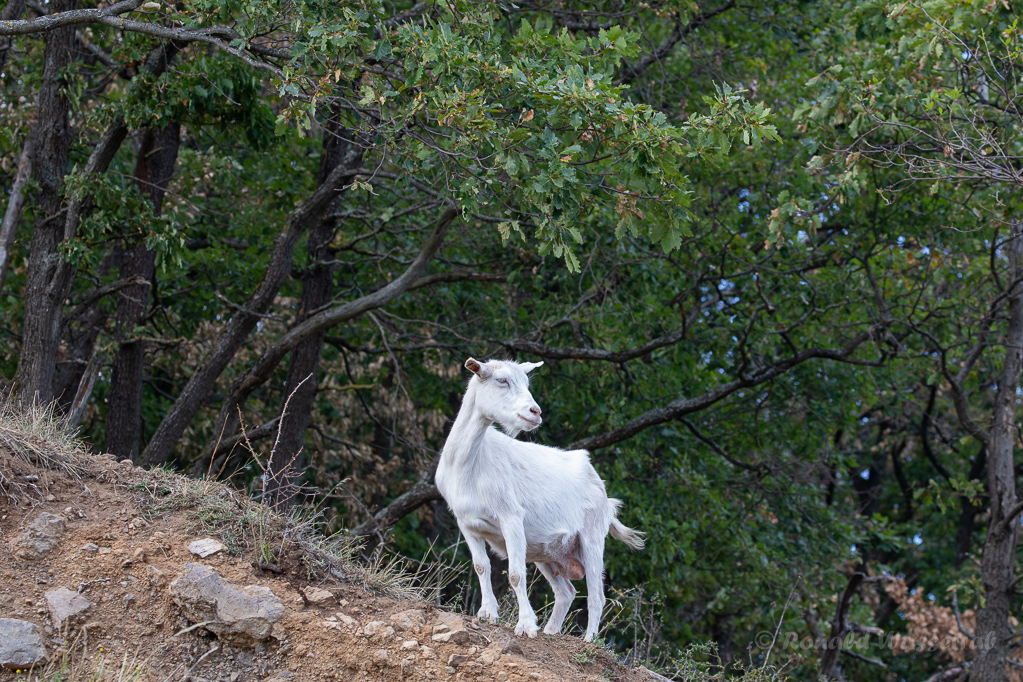 Kaschgora-Ziege