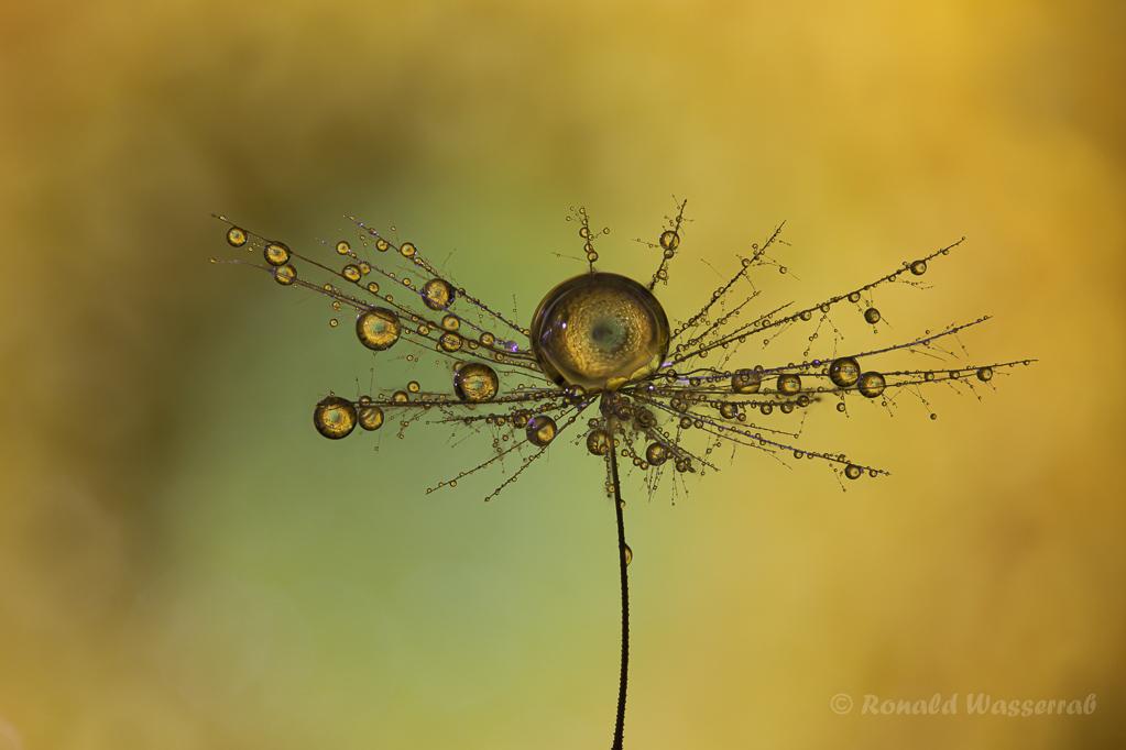 Refraktion in Tropfen im Ferkelkraut-Schirmchen