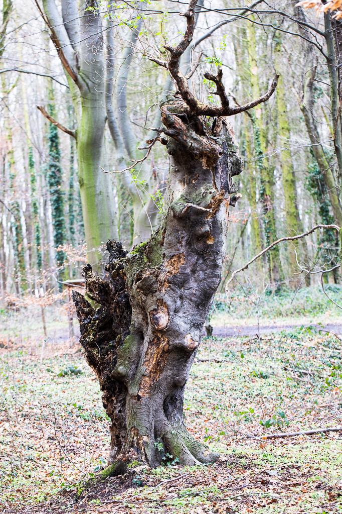 Toter Baumstumpf am Rheinhöhenweg