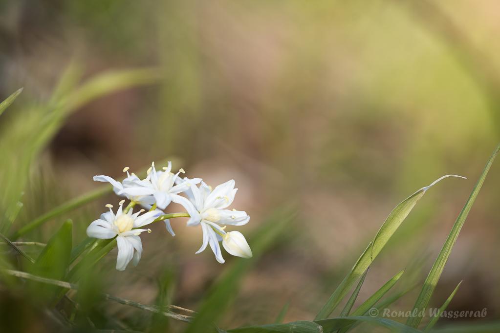 Weiße Blausterne