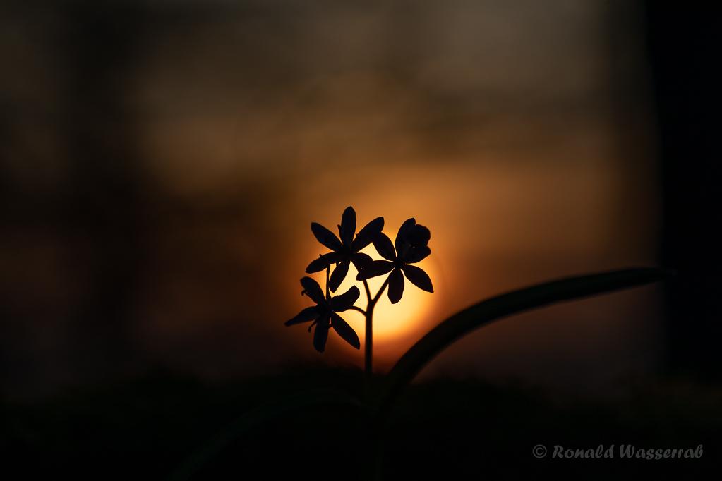 Blausterne im Sonnenuntergang