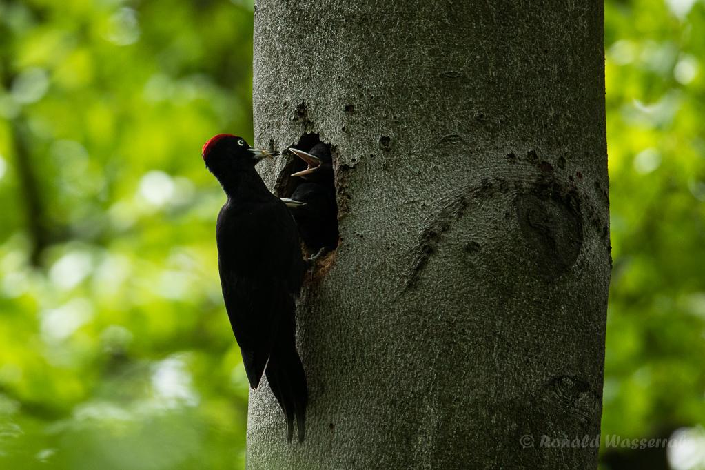 Die Schwarzspecht-Nestlinge werden gefüttert