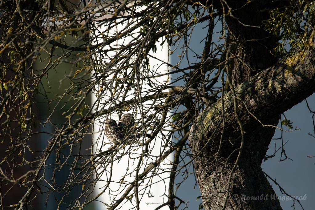 Steinkauz-Pärchen im Brutbaum