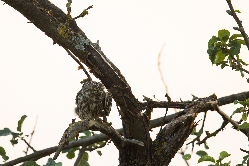 Das Steinkauz-Weibchen wartet auf das Männchen