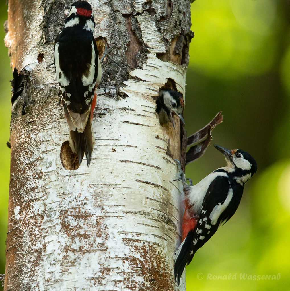 Buntspecht-Eltern mit Nestling