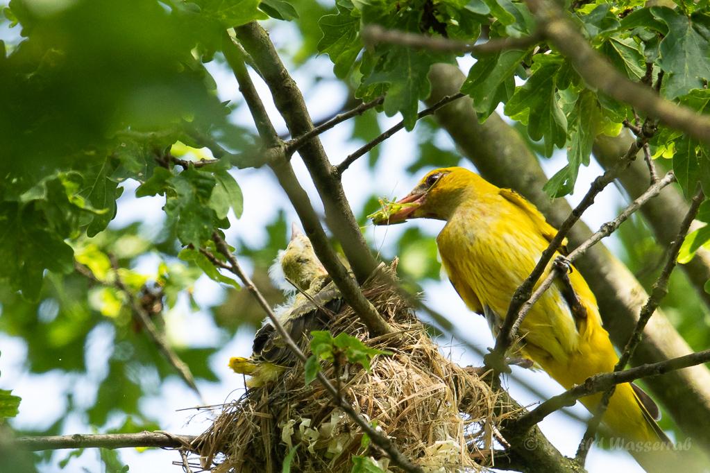 Pirol-Weibchen mit Futter am Nest