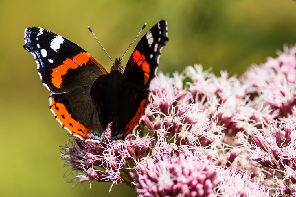 Admiral - Schmetterlinge im Kranzbruch bei Simmerath