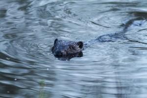 Der Biber schwimmt im Wasser und beobachtet mich
