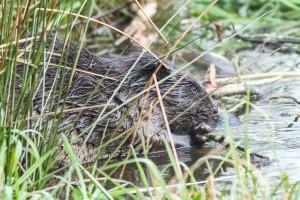 Der Biber hockt am Ufer seines Teiches und knabbert an der Rinde eines kleinen Astes