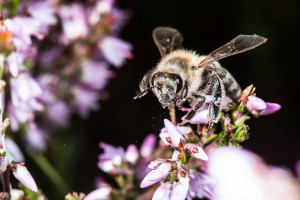Biene am Heidekraut