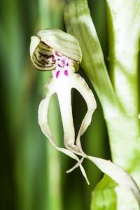 Bocksriemenzunge auf der Orchideenwiese Istein