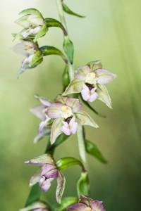Blüten der Breitblättrigen Stendelwurz